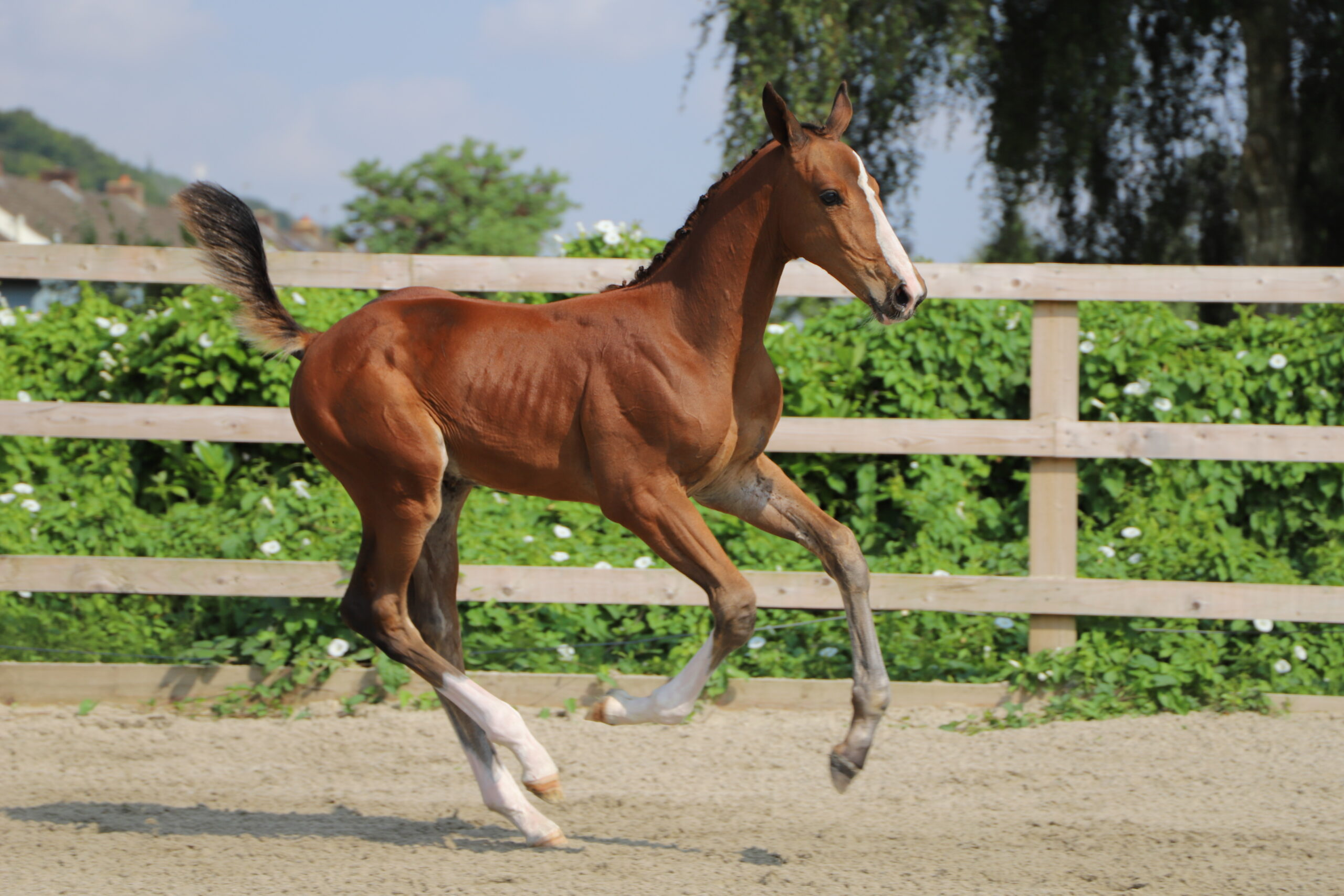 Exceptional Foal & Embryo Auction Success at Bolesworth